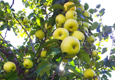 A tree loaded with green apples