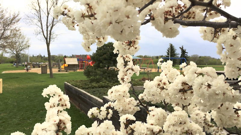 Blossoms at community hall with playground in background